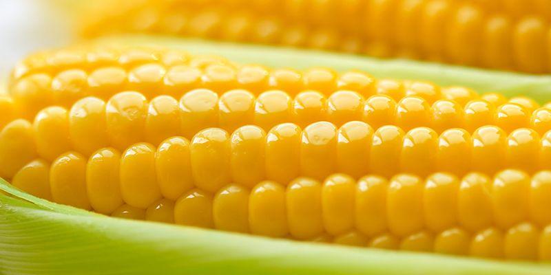 É tempo de comer milho