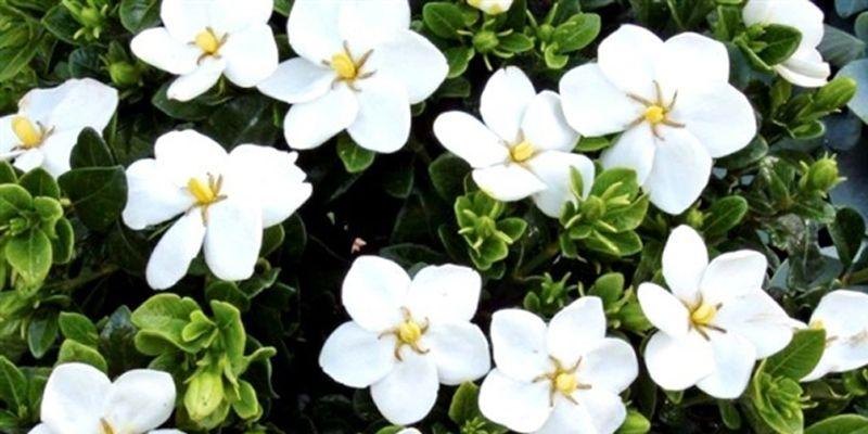 As flores de Agosto